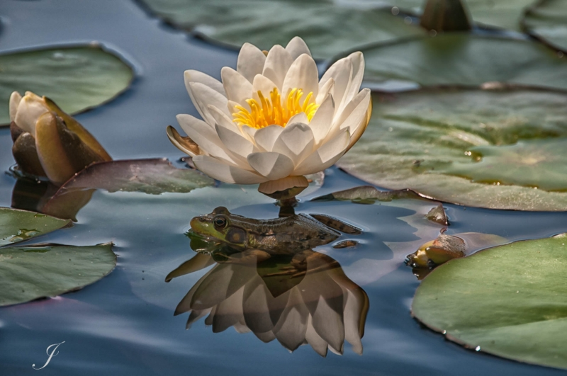 In_The_Shade_of_a_Water_Lily