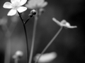 buttercup_in_black_and_white1