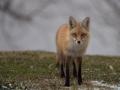 Fox-in-Backyard